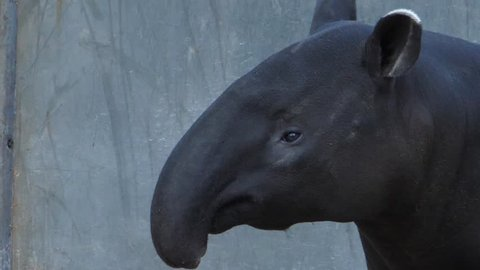 Tapir wiggling it's nose and moving the head around