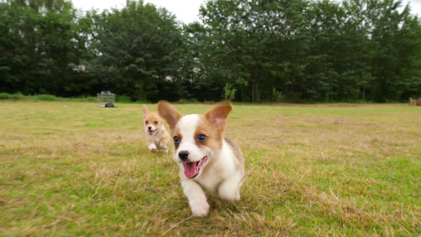 Slow motion of lovely Corgi puppy running to the camera outdoor in the field, happy dog playing after the camera, 4k | Shutterstock HD Video #1021840048