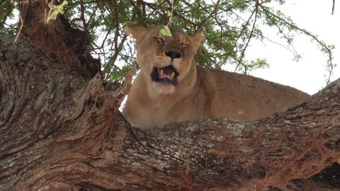Beautiful Lioness up in a tree. it is raining a bit and she found a dry place on a strong branch. Tanzania, Africa. Stable footage in 4 k, 59,94 fps
