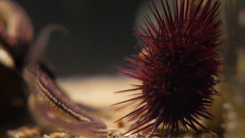 Close shot of an urchin and starfish in an aquarium