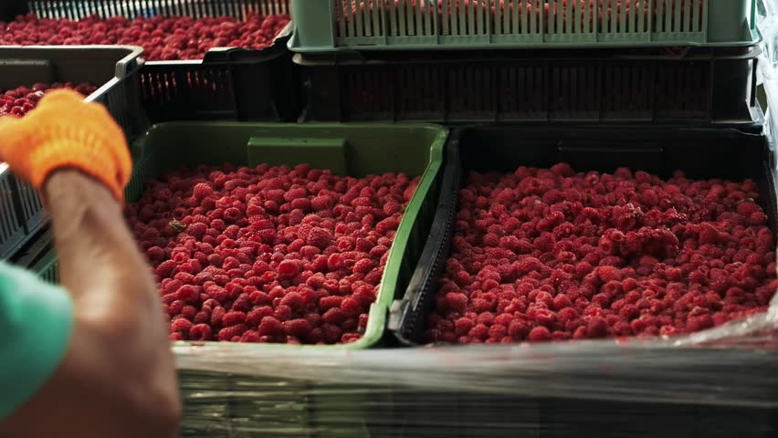 Close-up  Harvesting Raspberries  Ripe Berry Stock Footage Video (100%  Royalty-free) 1022079388 | Shutterstock