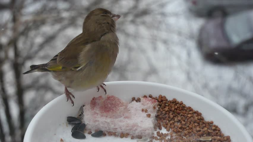 Greenfinch on a feeding trough in the city. | Shutterstock HD Video #1022088538