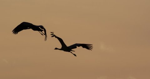 common cranes in germany -vorpommern