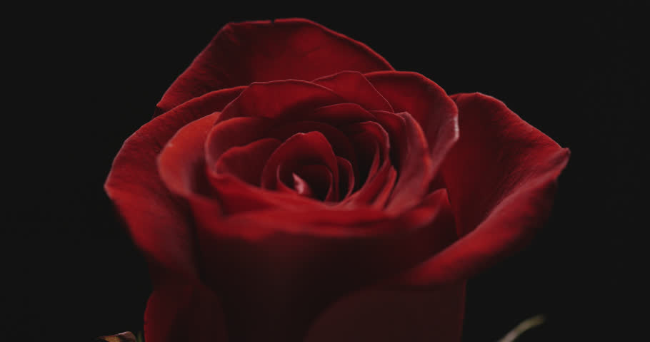 Free single black rose photo