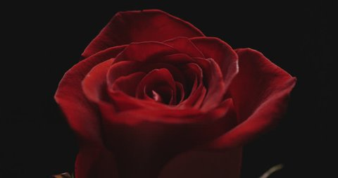 Close-up of single Rose on black background with beautiful lighting effect.