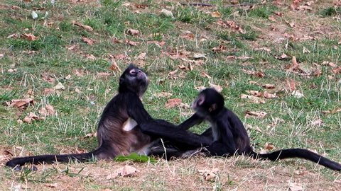 Black-Handed Spider Monkey - Ateles geoffroyi are playful at grass.