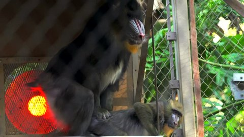 This video shows an alpha mandrill monkey male mating with a fellow female monkey in a monkey sanctuary.