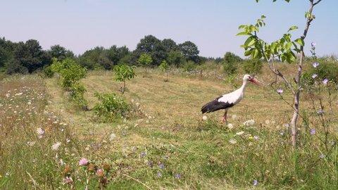 Storks fly away from walnut tree garden and fresh cut grass field, Bulgaria, june 2018