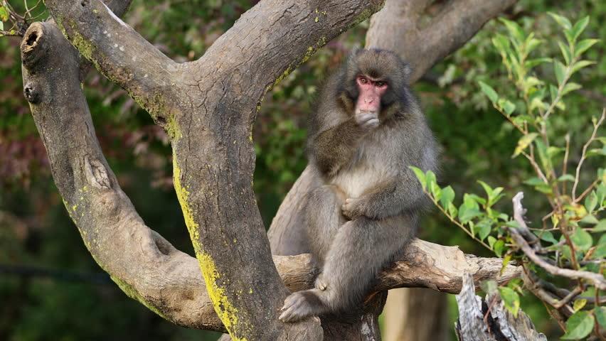 Japanese Macaque shot near Kyoto Japan. | Shutterstock HD Video #1022666098