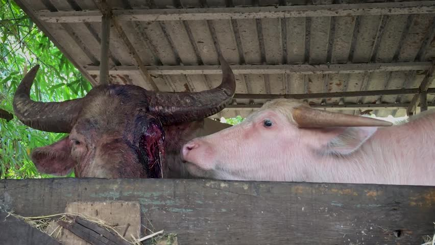Buffalo's Eye was severely injured- Animal Rights | Shutterstock HD Video #1022677348