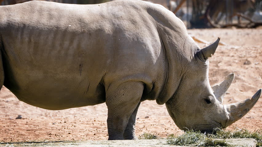Wild white rhino close shot on face with large horns. White rhinoceros Animal, wildlife video footage | Shutterstock HD Video #1022686408
