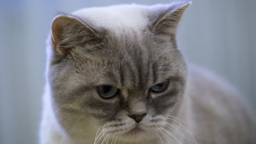Cute British shorthair cat face close-up. Adoption, animal protection | Shutterstock HD Video #1022693698
