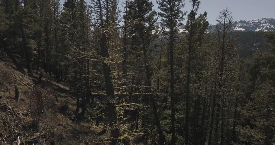Calm and lonely forest spruce trees of the countryside town of Bozeman Montana rocky snowy mountains (drone shot) | Shutterstock HD Video #1022841328
