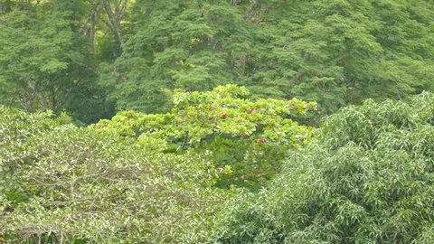 Shot 3/3 of Scarlet Macaw parrots feeding in far away tree for a long time
