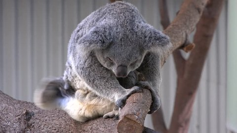 Mid shot of Australian Koala Bear scratching itself on its side and then under its arm.