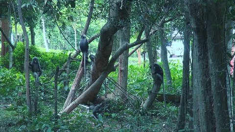 A troop of Gray langur or Hanuman langur (semnopithecus obscurus), also known as 'Dusky Leaf Monkeys' in a playful mood leap from tree to tree and chase eachother.