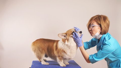 young experienced female vet examining a breed dog in the clinic. close up photo. profession, job, occupation, animals care. close up portrait. welsh corgi