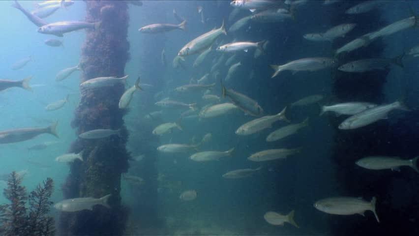 A large school of Longfin Pike (Dinolestes lewini) under a pier. | Shutterstock HD Video #1023123628