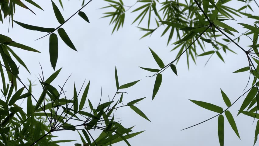 Silhouette, Bamboo leaves growth on the branch tree, dark storm sky is backdrop, with glare light. Selective focus.