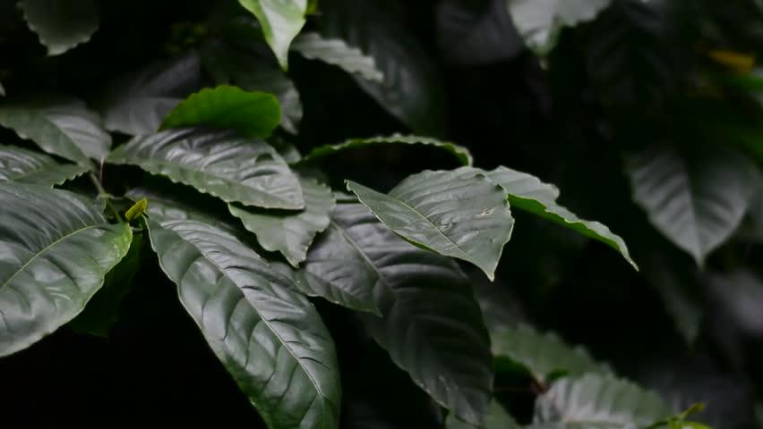 Coffee trees and dark green typical coffee leaves. Arabica coffee leaves below 700 meters high   Shutterstock HD Video #1023146848