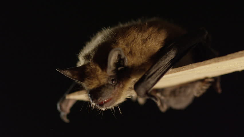 A Big Brown Bat Hanging Stock Footage Video 100 Royalty Free 1023163288 Shutterstock