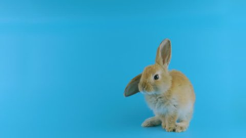 Brown bunny with one ear up, stands up on two legs, sniffing, looking at camera, blue background ready for chroma key