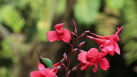 Hummingbirds Green-crowned Brilliant, Heliodoxa jacula, flight around red flower, Costa Rica
