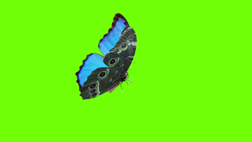 Morpho peleides, big blue butterfly flying near yellow flower, slow motion. Cycle animation with alpha channel, chroma key, material ID.