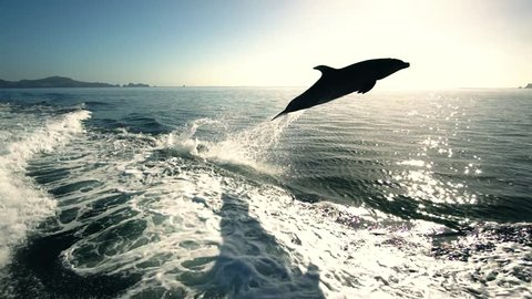 Dolphins jumping out of water slow motion New zealand Paihia bay of islands Delphine springen aus dem Wasser