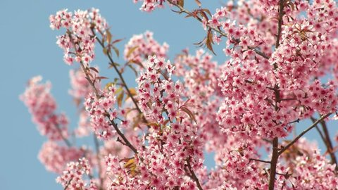 Pink sakura flower, Cherry blossom, Himalayan cherry blossom swaying in wind closeup background in Thailand.