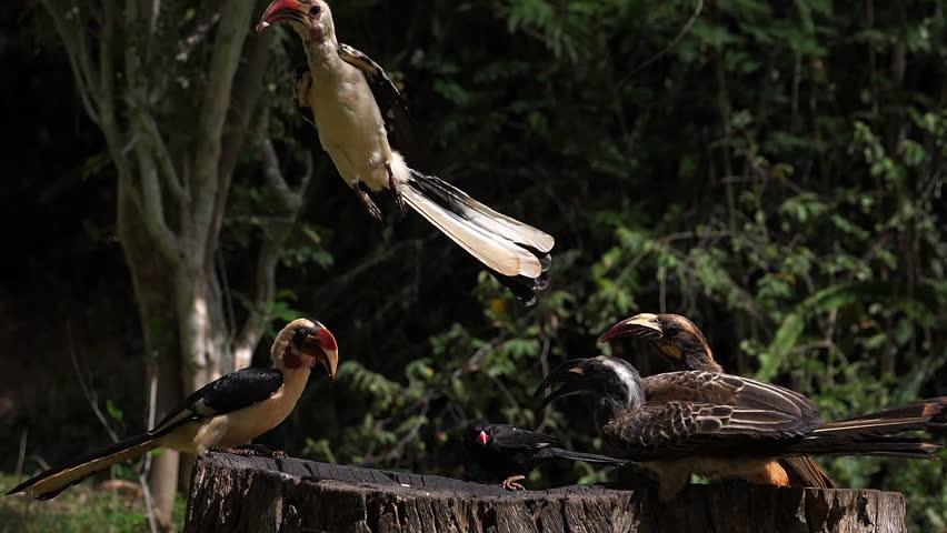 Birds at the Feeder, Von der Decken's Hornbill, African Grey Hornbill, Red-billed Hornbill, Group in flight, Tsavo Park in Kenya, Slow Motion | Shutterstock HD Video #1023519178