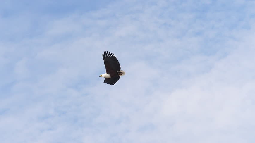 African Fish-Eagle, haliaeetus vocifer, Adult in flight, Flapping Wings, Cloudy sky, Baringo Lake in Kenya, slow motion