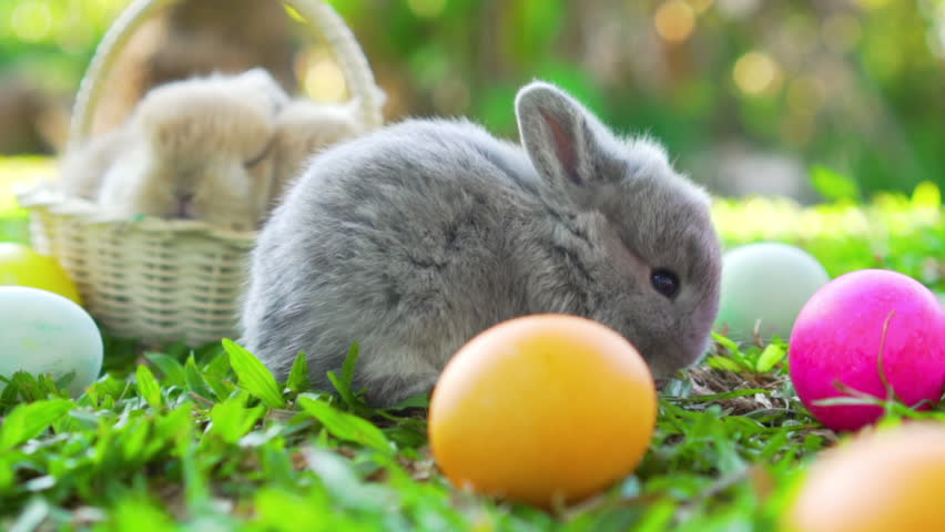 Adorable little brown easter bunny holland lop eating a grass, at near Easter eggs. Close up shot, slow motion | Shutterstock HD Video #1023723478
