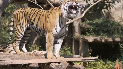 The tiger is hunting for prey, leaping to the victim.