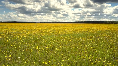 tremendous panorama endless blooming dandelion field and distant forest under pictorial sky with bouffant white clouds
