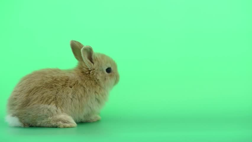 Cute baby light brown bunny rabbit move from left to right side on green screen background #1023756418