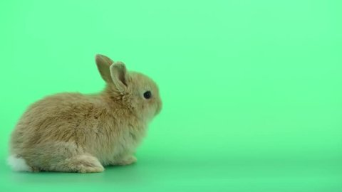 Cute Baby Light Brown Bunny Stock Footage Video (100