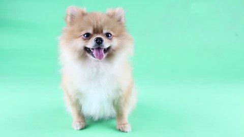 Pomeranian dog with a green backdrop.