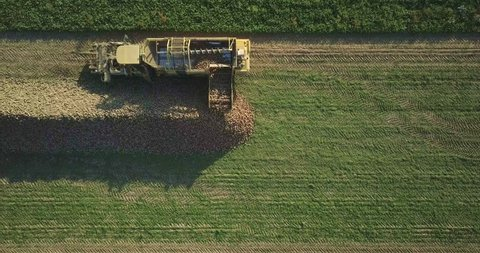 Farmer in tractor combine harvester rides through the sugar beet field. Big machine harvest sugar beet on field at summer or autumn. Agriculture. Agronomy farming and husbandry concept. Aerial video.