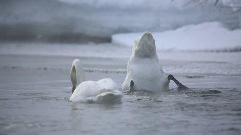 Kamchatka. Swans whoopers