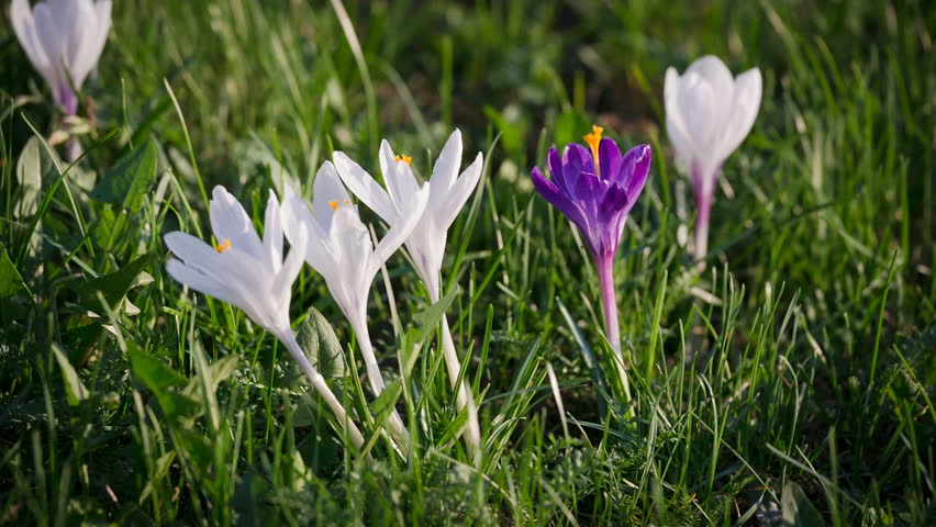 Purple and white crocuses on green grass tremble on the wind, closeup | Shutterstock HD Video #1024016258