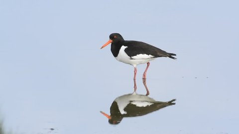 Eurasian oystercatcher / common pied oystercatcher (Haematopus ostralegus) resting in shallow water before taking off