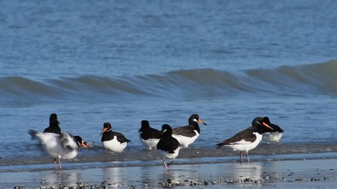 Pied oystercatchers and sanderlings foraging and taking off from beach in winter