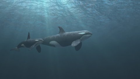 Underwater shot of mother and calf killer whales (orcas orcinus) swimming passed the camera in deep blue ocean - high quality 3d animation