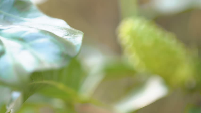 Fresh noni on a tree. Fruits of Noni with green leaves. | Shutterstock HD Video #1024373708