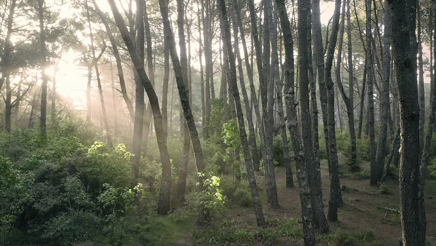 Aerial: Sun shining through trees in a pine forest interior giving a surreal dreamy feel. Tunnel of light. Opoutere, Coromandel Peninsula. New Zealand    Shutterstock HD Video #1024380998