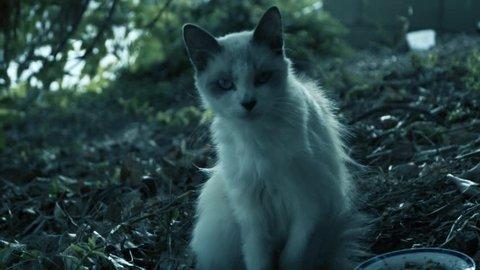 White Feral Kitten gazes with sad,dramatic eyes.  Life is tough.  Cool blue.