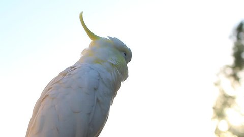The Sulphur-crested Cockatoo (Cacatua galerita) sunlight sunshine on cockatoo in the morning