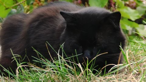 4K Close-up of a miaowing furry black cat (chantilly Tiffany). Man stroking a dark cat in the garden in windy weather. Slow motion of fluffy adult tomcat laying on the ground . Cat with big eyes.