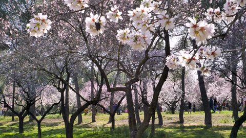 Blooming almond tree flowers close up at Quinta de los Molinos city park at Alcala street in Madrid, Spain. People enjoy walking between blooming almond trees in the background in spring.